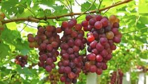 ripe-grapes-in-his-vineyard_4213ef3e-1ab6-11e6-a43b-6996e2e2942c