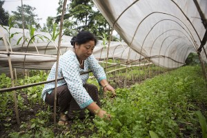 A farmer picks attends vegetables on an organic farm in Lower Nandok, Sikkim, India, on Tuesday, May 3, 2016. For more than a decade in the Himalayan foothills and across the northeastern state of Sikkim, 66,000 farmers have shunned chemical weed killers, synthetic fertilizers and gene-altered seeds. Their return to traditional farming methods has made the tiny state, sandwiched between China, Nepal and Bhutan, a testing ground for a counter movement to the Green Revolution, the half-century-old system that relied on modern seeds, chemicals and irrigation to boost crop yields and stave off hunger. Photographer: Prashanth Vishwanathan/Bloomberg